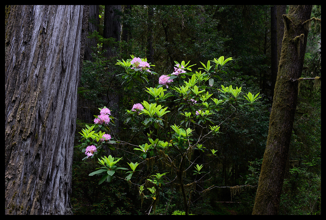 Rhododendrons and Redwood 3