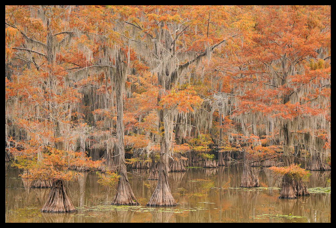 TX, Cypress trees 12