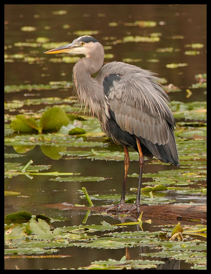 TX, Great Blue Heron 2